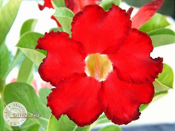Semente Mr-KO Dark Forest - Vermelha - Kit com 5 sementes Flor Simples