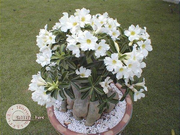 Semente Mr-KO Star Studded Sky - Branca - Kit com 5 sementes Flor Simples