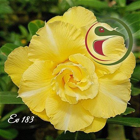 Muda de Enxerto - EV-183 - Flor Tripla