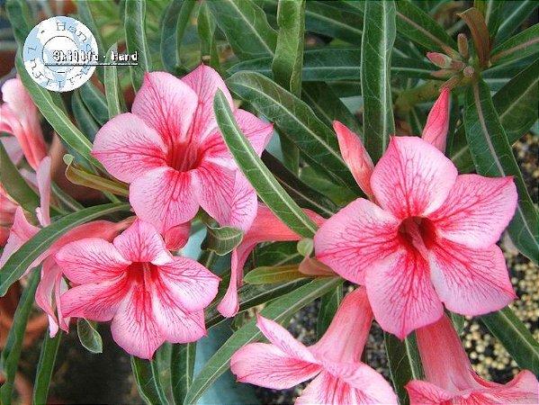 Semente Mr-KO Star of Red Sparkles - Kit com 5 sementes Flor Simples