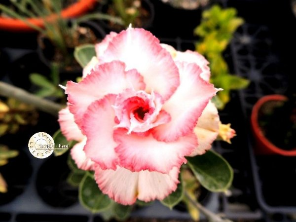 Semente Mr-KO 64 - Kit com 5 sementes Flor Tripla