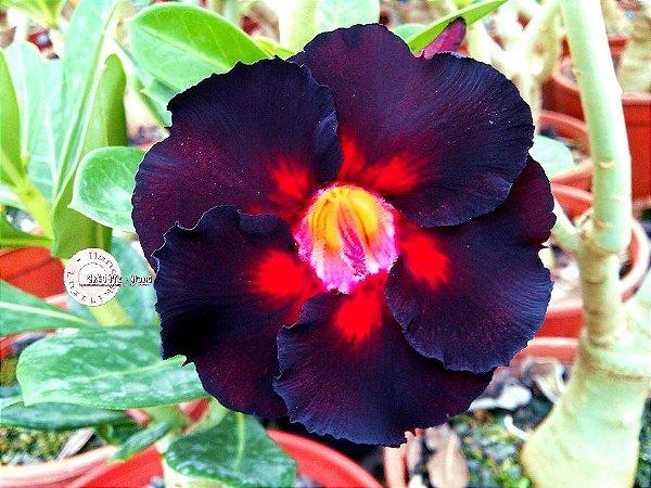 Semente Mr-KO 67 - Kit com 5 sementes Flor Simples