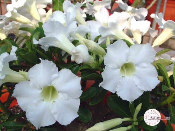 Semente Mr-KO Spindrift - Branca  - Kit com 5 sementes Flor Simples