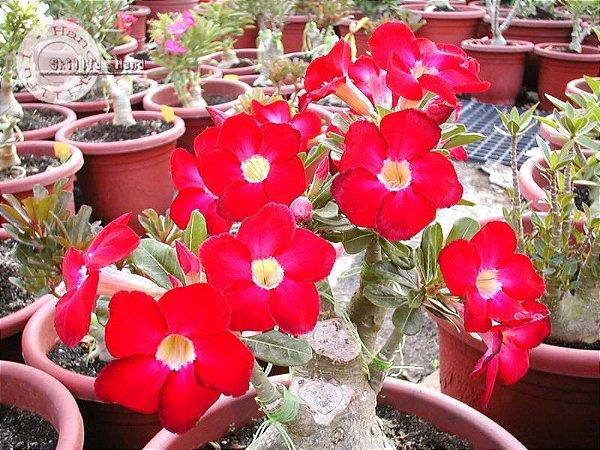 Semente Mr-KO Arrogant - Vermelha  - Kit com 5 sementes Flor Simples