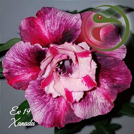 Muda de Enxerto - EV-019 - Xanadu - Flor Dobrada
