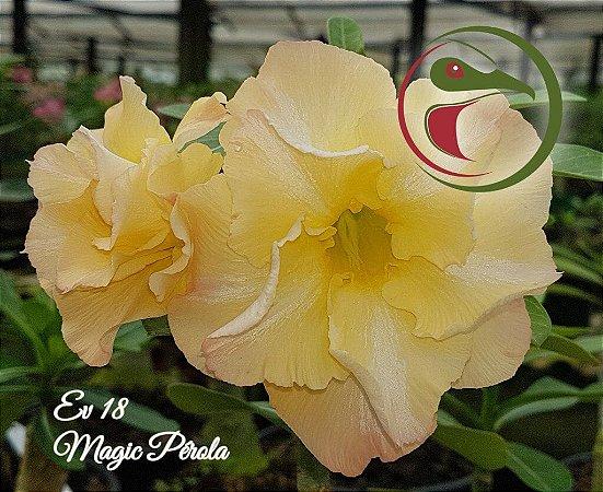 Muda de Enxerto - EV-018 - Magic Pérola - Flor Dobrada
