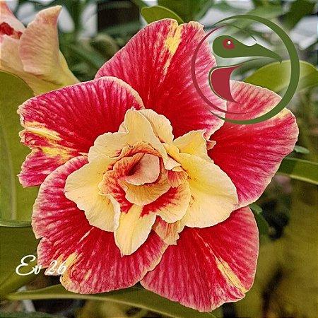 Rosa do Deserto Muda de Enxerto - EV-026 - Flor Dobrada