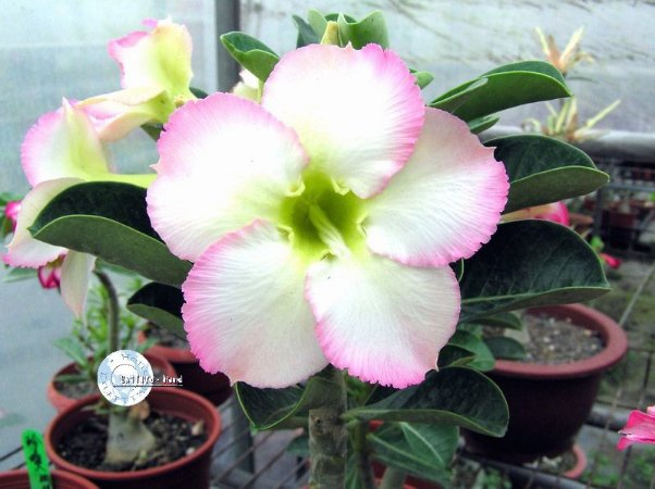 Semente Mr-KO Super Perfume - Kit com 5 sementes Flor Simples