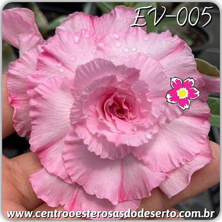 Muda de Enxerto - EV-005 - Flor Quadrupla Pink Bebê