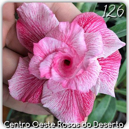 Rosa do Deserto Muda de Enxerto - EV-126 - Flor Tripla Branca/pink Mesclada