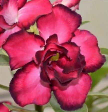 Muda de Enxerto - EV-216 - Flor Dobrada Pink Com Borda Escura