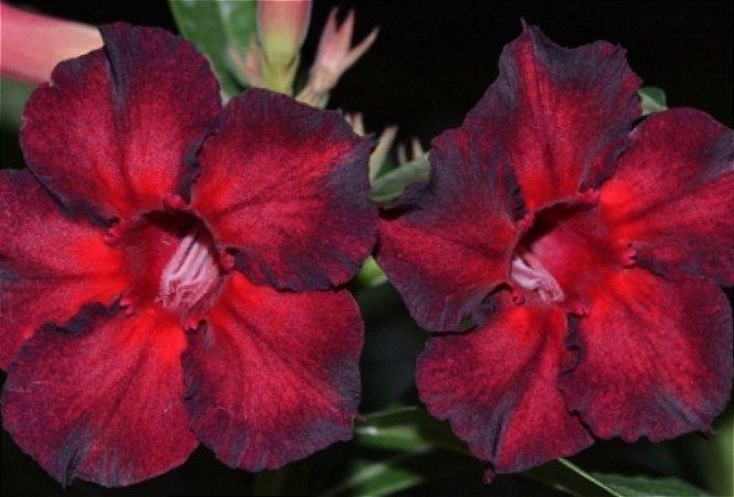 Muda de Enxerto - EV-438 - Flor Simples Vermelho com detalhes em tom escuro