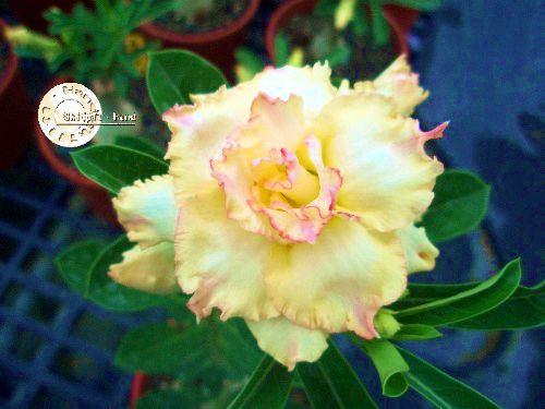 Semente Mr-KO 28 - Kit com 5 sementes Flor Tripla