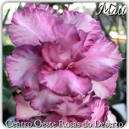 Muda de Enxerto - MAU - Flor Tripla Roxa