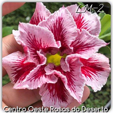 Muda de Enxerto - LM-02 - Flor Dobrada Vermelha Matizada
