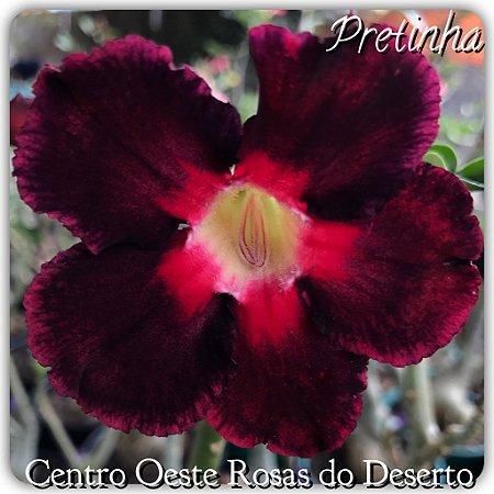 Muda de Enxerto - Pretinha - Flor simples Vermelho em tom escuro