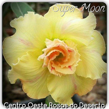 Muda de Enxerto - Supermoon - Flor Dobrada Amarelo