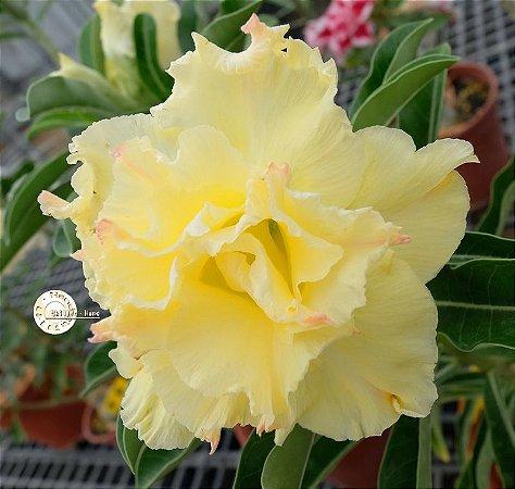 Semente Mr-KO 91 - Kit com 5 sementes Flor Dobrada