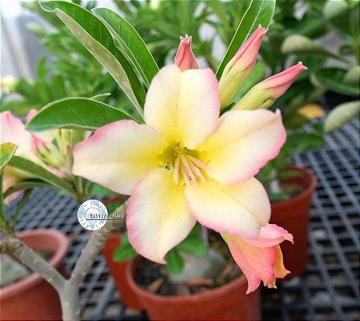 Semente Mr-KO 105 - Kit com 5 sementes Flor Simples