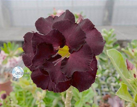 Semente Mr-KO 96 - Kit com 5 sementes Flor Dobrada