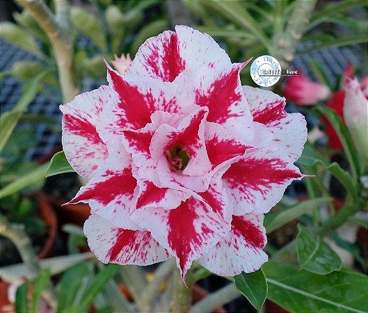 Semente Mr-KO 115 - Kit com 5 sementes Flor Tripla