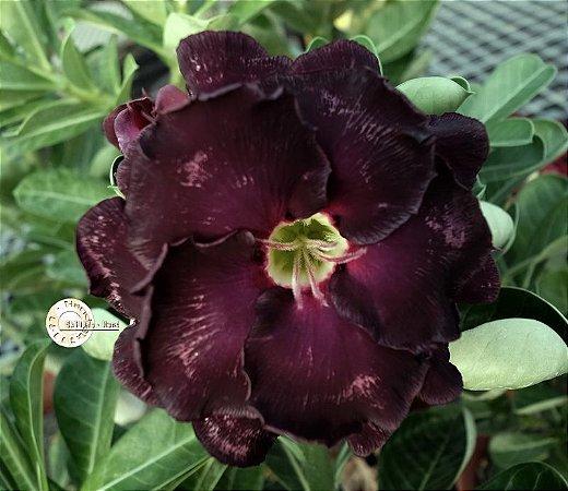 Semente Mr-KO 109 - Kit com 5 sementes Flor Dobrada