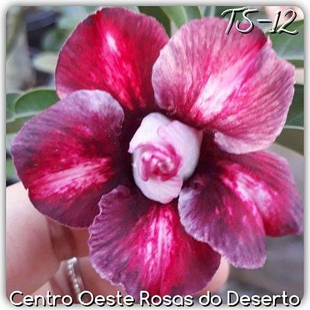 Muda de Enxerto - TS-012 - Flor Dobrada vermelho matizado
