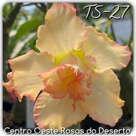 Muda de Enxerto - TS-027 - Flor Dobrada Amarela