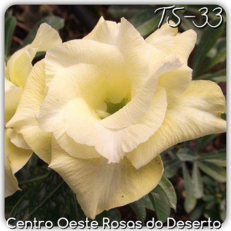 Muda de Enxerto - TS-033 - Flor Dobrada Amarela Clara