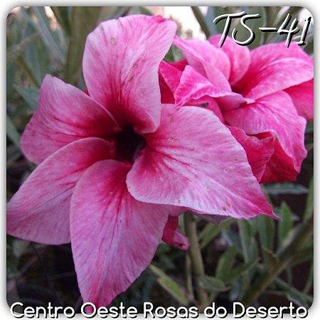 Rosa do Deserto Muda de Enxerto - TS-041 - Flor Dobrada Pink