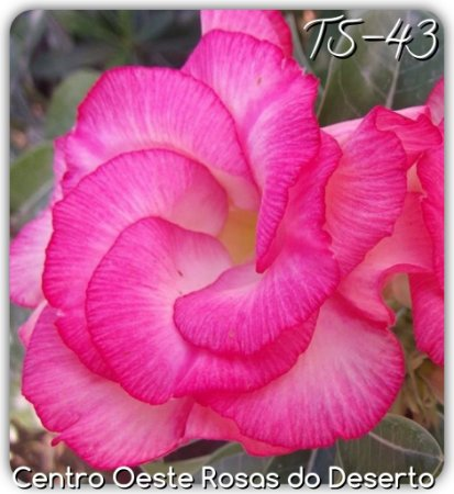 Rosa do Deserto Muda de Enxerto - TS-043 - Flor Dobrada Pink matizada