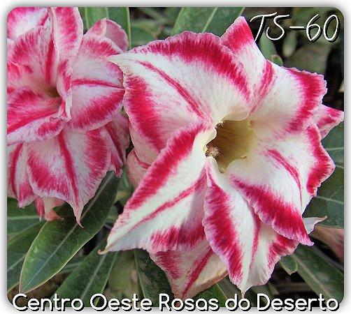 Muda de Enxerto - TS-060 - Flor Dobrada Branca Matizada