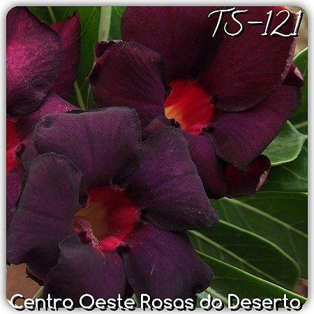 Rosa do Deserto Muda de Enxerto - TS-121 - Flor Dobrada Roxo