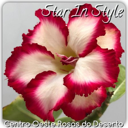 Muda de Enxerto - Star in Style - Flor Dobrada Branca com borda Pink - IMPORTADA
