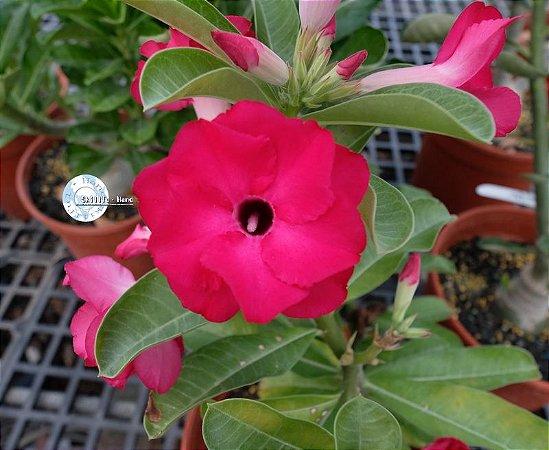 Semente Mr-KO 79 - Kit com 5 sementes Flor Dobrada
