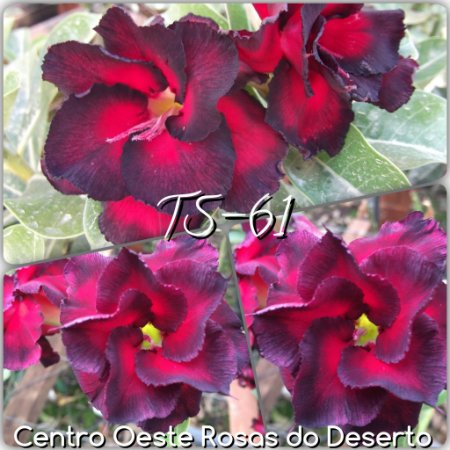 Muda de Enxerto - TS-061 - Flor Dobrada vermelho com borda escura