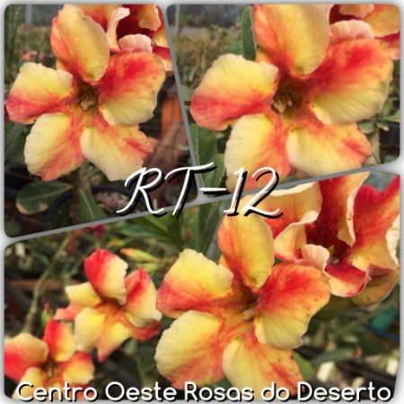 Muda de Enxerto - RT-12 - Flor Simples Amarela matizada