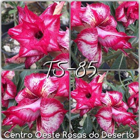 Muda de Enxerto - TS-085 - Flor Tripla pink matizado