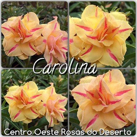 Muda de Enxerto - Carolina - Flor Tripla Amarela com risco pink
