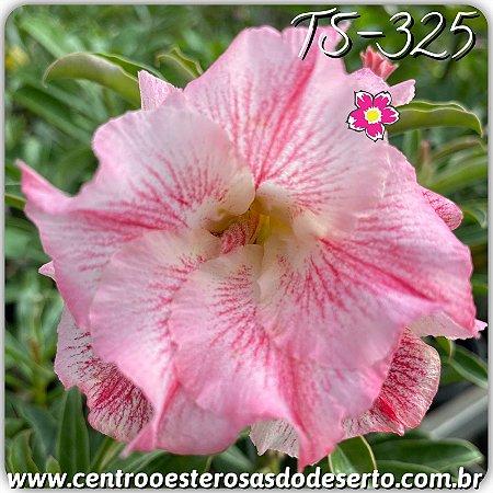 Muda de Enxerto - TS-325 - Flor Dobrada Branca Matizada