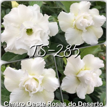 Muda de Enxerto - TS-285 - Flor Tripla