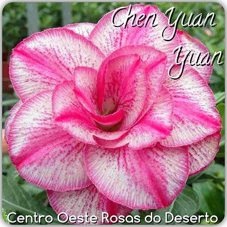 Muda de Enxerto - Chen Yuan Yuan - Flor Tripla - Cuia 21 (com 2 a 3 enxertos) IMPORTADA