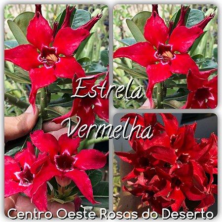 Muda de Enxerto - Estrela Vermelha - Flor Simples Vermelha  - Cuia 21 (com 2 a 3 enxertos)