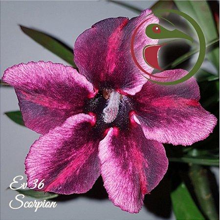 Rosa do Deserto Muda de Enxerto - EV-036 - Scorpion - Flor Simples