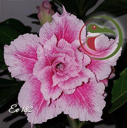Rosa do Deserto Muda de Enxerto - EV-182 - Flor Tripla