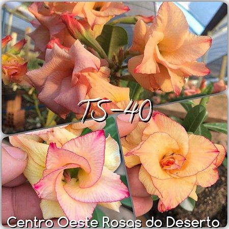 Muda de Enxerto - TS-040 - Flor Dobrada