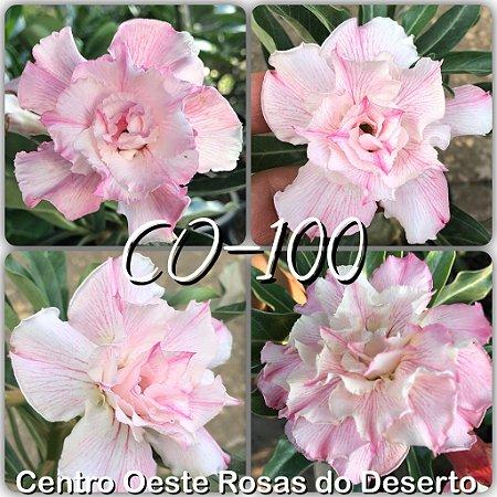Muda de Enxerto - CO-100 - Triple Delicate - Flor Tripla