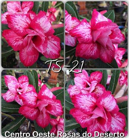 Muda de Enxerto - TS-021 - Flor Dobrada Branca/Pink Matizada