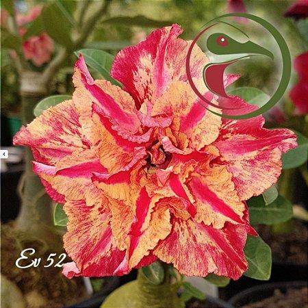 Rosa do Deserto Muda de Enxerto - EV-052 - Flor Tripla
