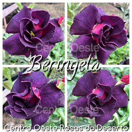 Rosa do Deserto Muda de Enxerto - Beringela - Flor Dobrada Roxa - Cuia 21 (com 2 a 3 enxertos)